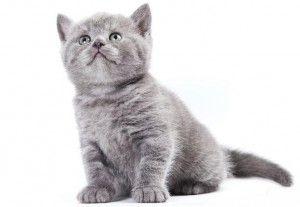 Кілька причин зупинитися на британському кошеня