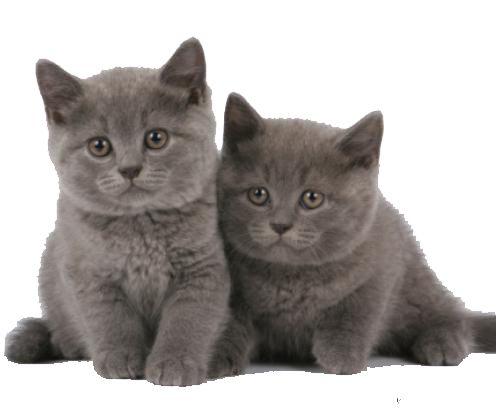 Догляд за британськими кошенятами