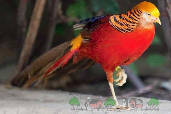 Фото золотого фазана