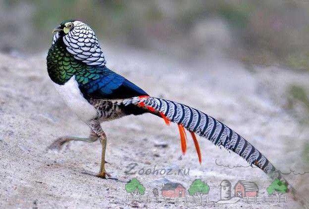 Фото алмазного фазана