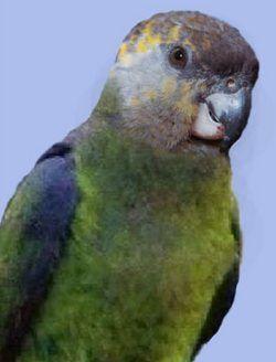 Ніамніамскій довгокрилий попугайpoicephalus crassus