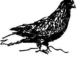 Миколаївські (голуби)