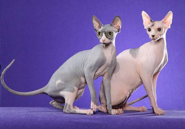 Як показує досвід власників, що мають кілька тварин, кішки рідко справляють нужду разом і вважають за краще почекати один одного.