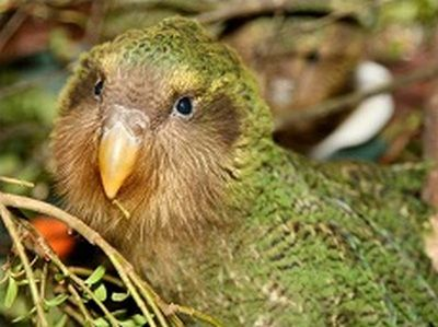 Нічний папуга (geopsittacus occidentalis)