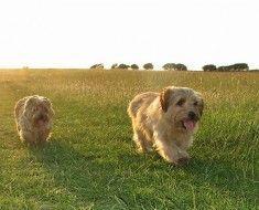 Дві собаки норфолк тер`єра