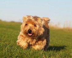 Пес різновиди норфолк тер`єр