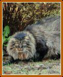 Норвезька лісова кішка: характеристика породи, фото і ціни