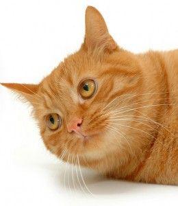 Ніс кішки