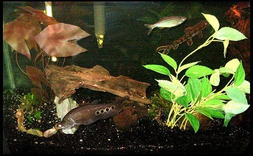 риба-ніж