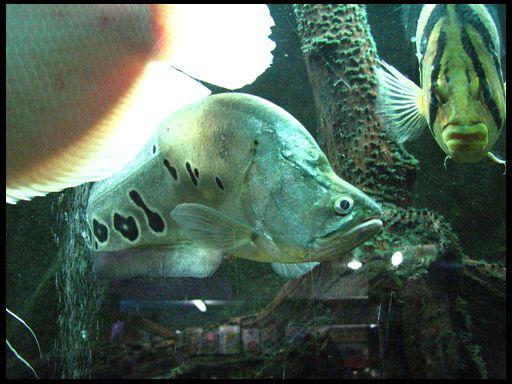 риба-ніж читала глазчатий