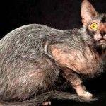Нова порода кішок