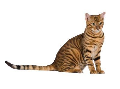 Порода кішок Тойгер