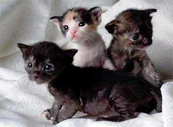 розвиток кошенят