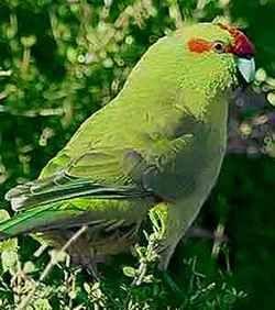 Новозеландський цапиний папужка або какарік краснолобийcyanoramphus novoezelandiae
