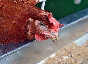 Чи потрібна курочкам вітамінно-мінеральна добавка рябушка?