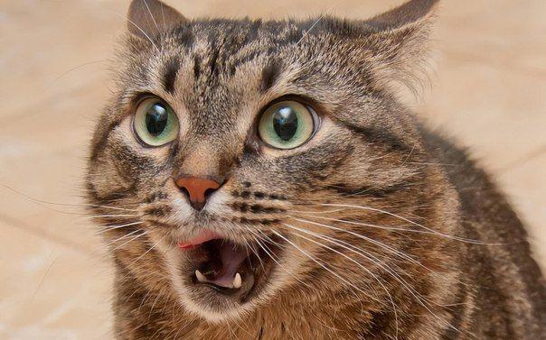 Про що говорить ваша кішка
