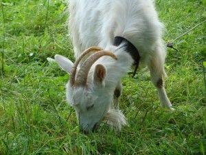 Про годування новонароджених козенят і дорослих кіз