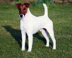 Білий пес з коричневою мордою