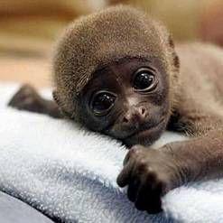 Мавпа в будинку: зміст, годування, догляд