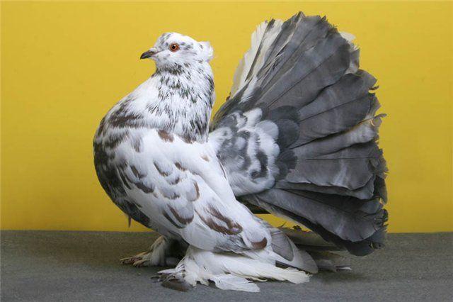 Володар самого пишного хвоста - павича голуб