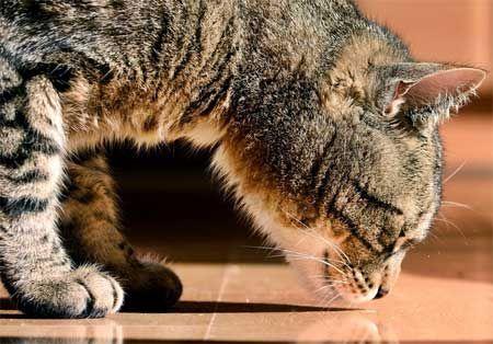 Нюхові способи, що застосовуються кішками для передачі повідомлень.