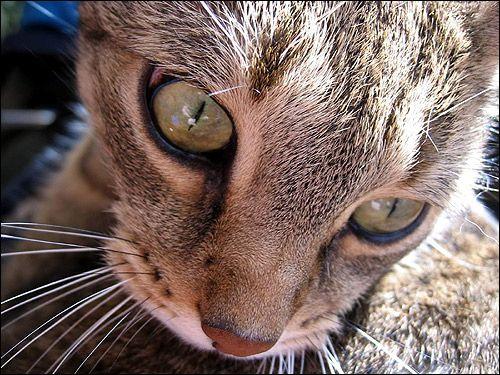 Крупним планом морда кішки дикого забарвлення. Фото, фотографія картинка