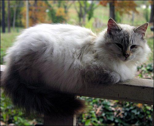 Пухнастий кіт лежить на дерев`яних перилах. Фото, фотографія картинка