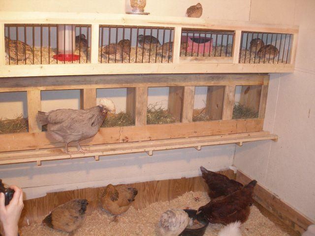 Кури пересуваються по сараю