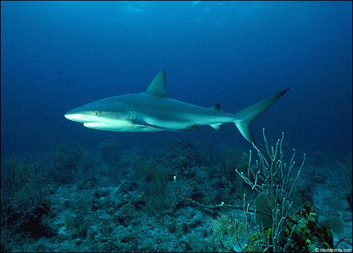 Клас хрящові риби (chondrichthyes)
