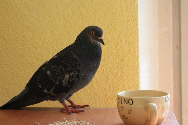 Голуб сидить поруч з чашкою