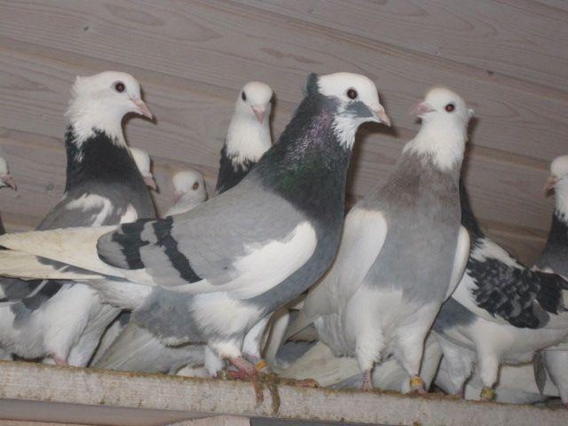 Голуби сидять на сідалах