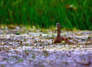 Огляд селезнів: значення самців качки в природі