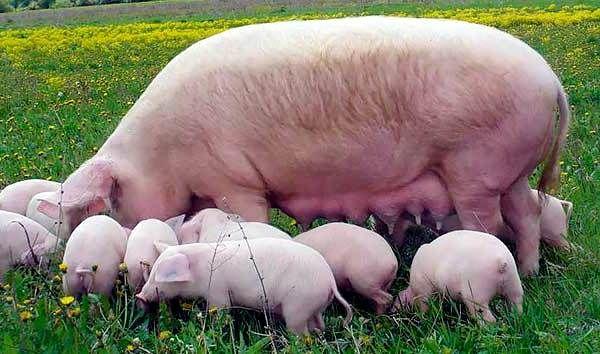 Огляд свиней м`ясної спрямованості