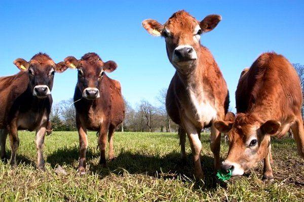 Одна з найдавніших порід корів - джерсейська