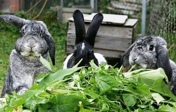 Кульбаби в кролячому раціоні - чи потрібні?