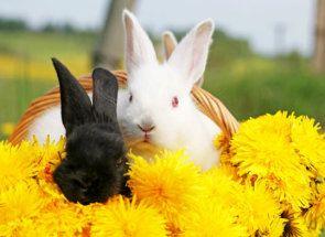 Кульбаби в раціоні кроликів - знайомимося з правилами годування