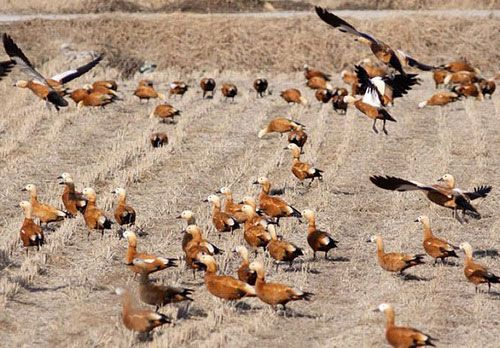 Червоні качки годуються на поле