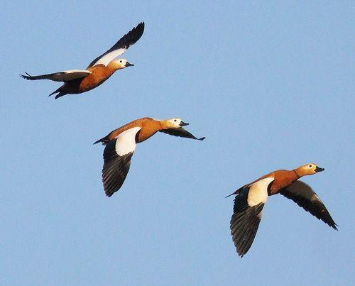 Червоні качки летять