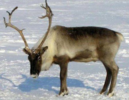 Полювання на дикого північного оленя