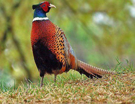 Полювання на фазана з лайкою