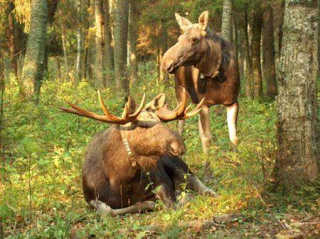 Полювання на лося з манком