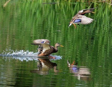 Полювання на качок на вилетку з підходу