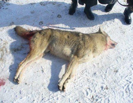 Полювання на вовка з капканами