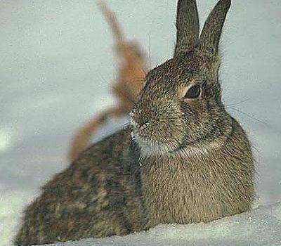 Полювання на зайця петлями