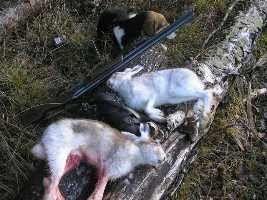 Полювання на зайця правила стрільби