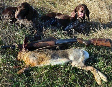 Полювання на зайця з лягавою