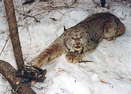 Полювання з капканом на рись