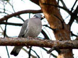 Полювання з манком на дикого голуба