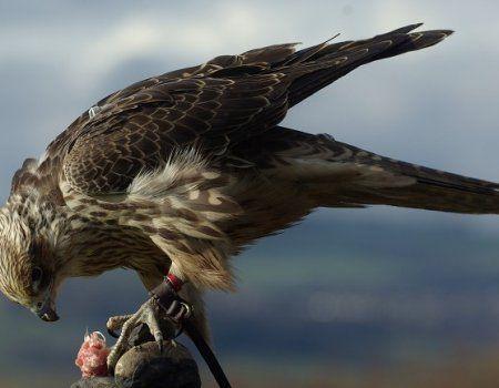 Полювання з соколом балобанов