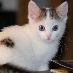 Забарвлення і характер кішок - кішка біколор